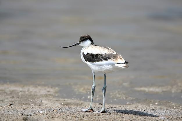 Jeune avocette pied (recurvirostra avosetta) se dresse sur la rive du lac