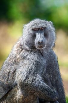 Jeune babouin olive dans le parc national du kenya, afrique
