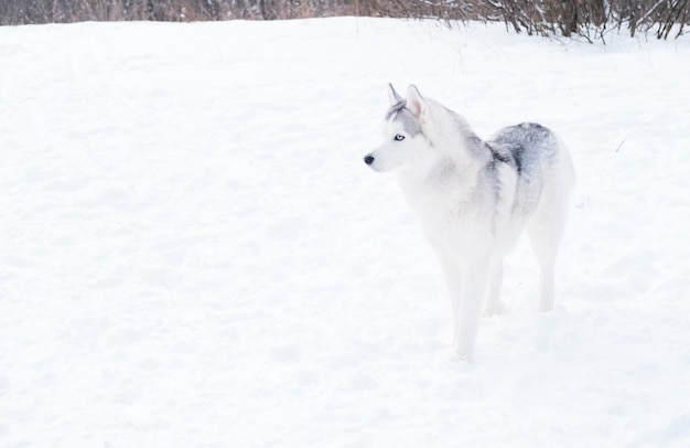Jeune beau husky sibérien aux yeux bleus debout en hiver. gros plan portrait. vue de côté. chien et neige.