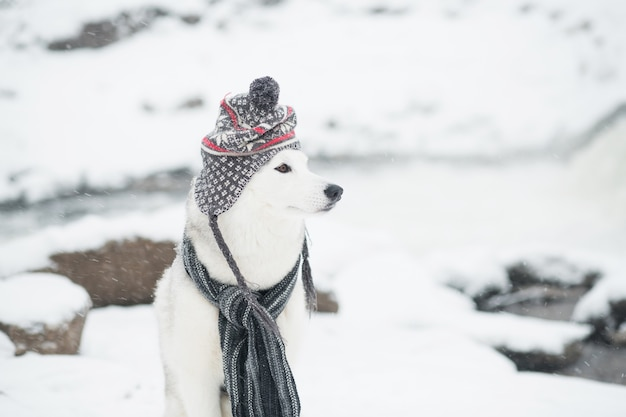 Jeune beau husky sibérien en chapeau gris et écharpe en hiver. chien et chutes de neige. photo de haute qualité