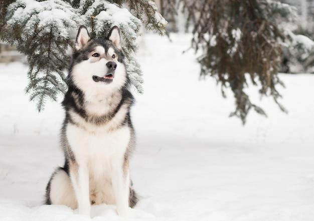 Jeune beau malamute d'alaska assis dans la neige. hiver de chien.