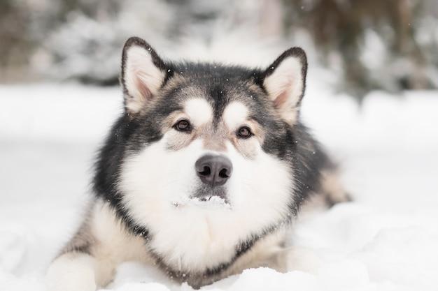 Jeune beau malamute d'alaska aux yeux bruns couché dans la neige. hiver de chien. photo de haute qualité