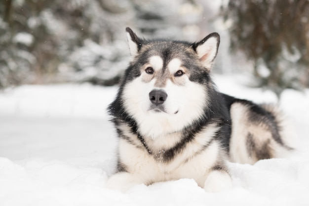 Jeune beau malamute d'alaska couché dans la neige. hiver de chien.
