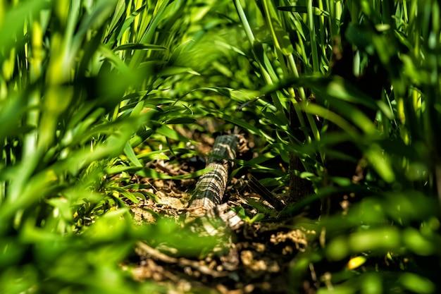 Jeune blé vert dans un champ au début du printemps.