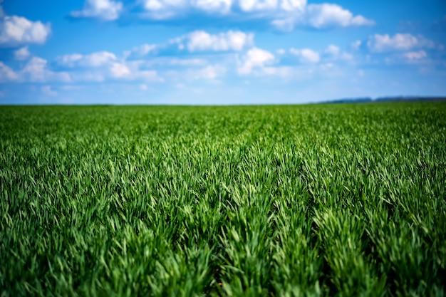 Jeune blé d'un vert riche au début du printemps.