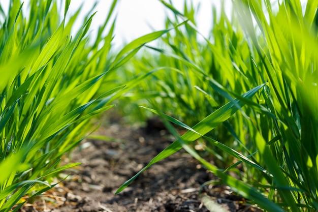 Jeune blé vert sous le soleil de printemps, gros plan