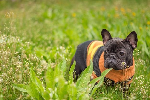 Jeune bouledogue français en veste parmi l'herbe verte lors d'une promenade