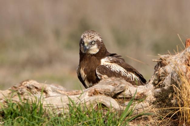 Jeune de busard des marais occidentaux avec les dernières lumières de l'après-midi