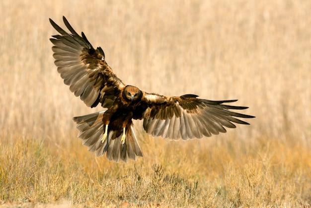 Jeune de busard des marais de l'ouest volant avec les dernières lumières de l'après-midi