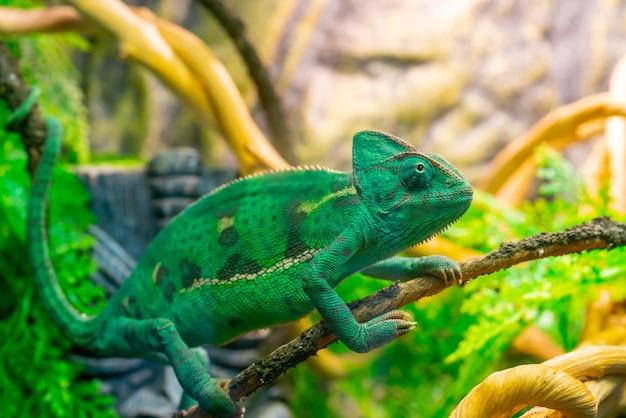 Jeune caméléon vert sur une branche. animal mignon. coloration protectrice de l'animal.