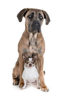Jeune canne corso et chihuahua