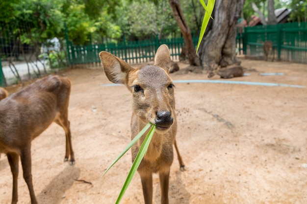 Jeune cerf brun mangeant de l'herbe