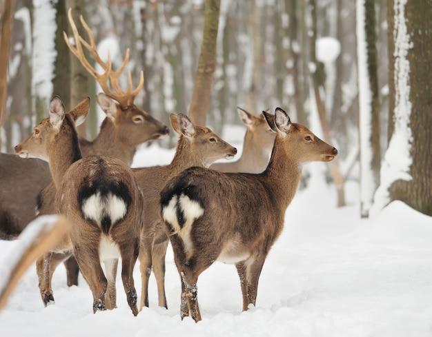 Jeune cerf dans la forêt d'hiver