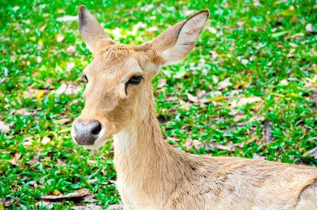 Jeune cerf de virginie whitetail sur herbe