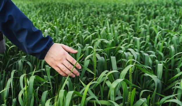 Jeune champ de blé vert. gros plan de la main de l'homme touchant les épis de blé. concept de récolte riche. l'agriculteur ou l'agronome vérifie la récolte.