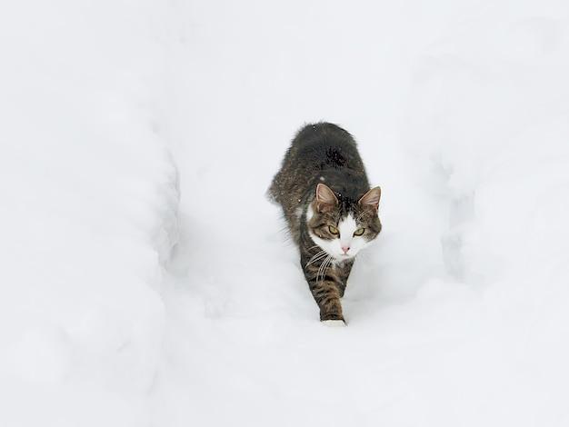 Jeune chat actif noir et blanc marchant dans la neige.