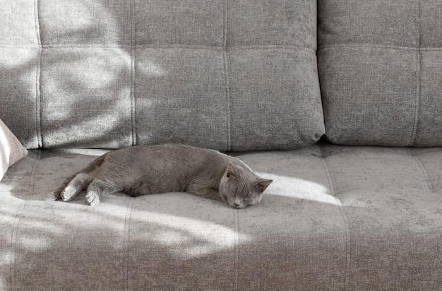 Jeune chat british shorthair dormant sur un canapé gris. la lumière du soleil de la fenêtre crée une ombre sur le canapé.