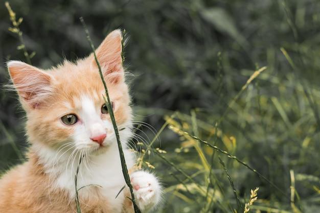 Jeune chat rouge et blanc pose pour une photo.