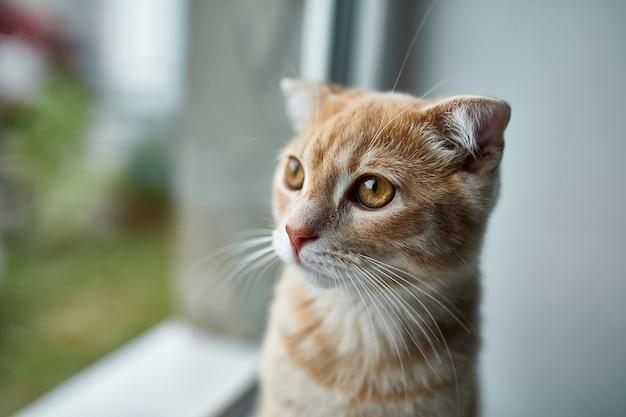 Jeune chat rouge rayé british shorthair s'asseoir sur un rebord de fenêtre et regarde par la fenêtre à la maison, animal domestique.