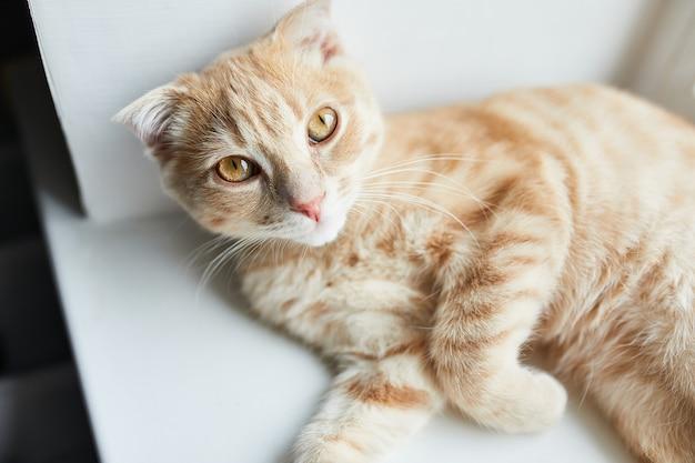 Jeune chat rouge rayé british shorthair se trouve sur un rebord de fenêtre à la maison, animal domestique, regarde la caméra.