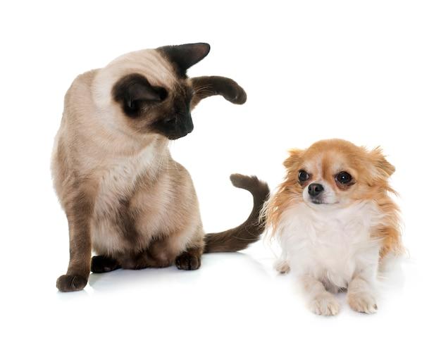 Jeune chat siamois et chihuahua