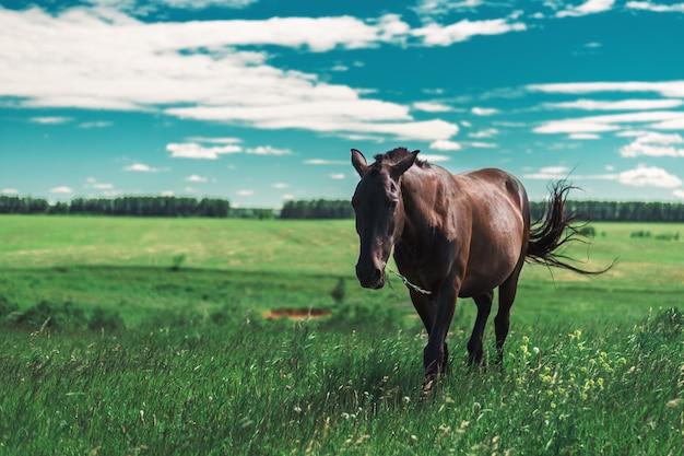 Jeune cheval brun enceinte marche sur un pré vert et mâche de l'herbe fraîche