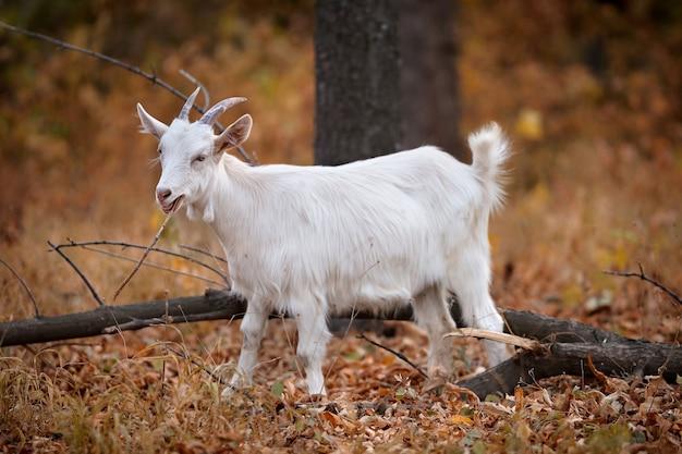 Jeune chèvre blanche dans la forêt d'automne à mâcher des feuilles