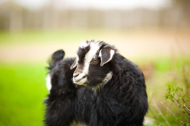 Une jeune chèvre broute dans un pré.