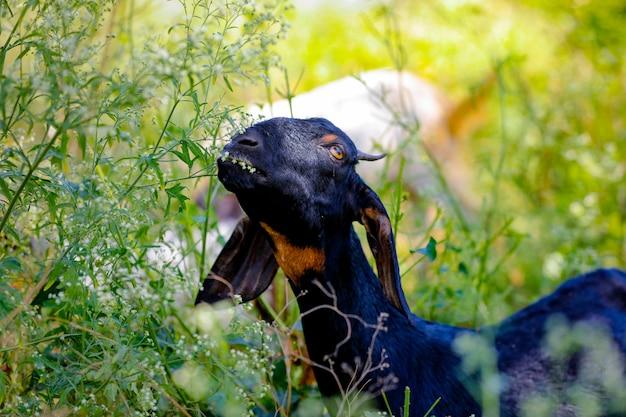 Jeune chèvre indienne au champ