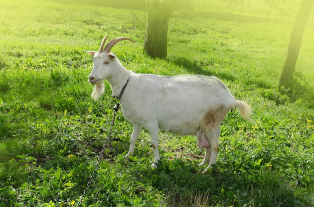 Jeune chèvre mangeant de l'herbe dans la cour. chèvre blanche en plein air au printemps
