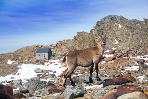 Jeune chèvre de montagne bouquetin des alpes sur les rochers dans les prés mont blanc france moment parfait dans les hautes terres alpines