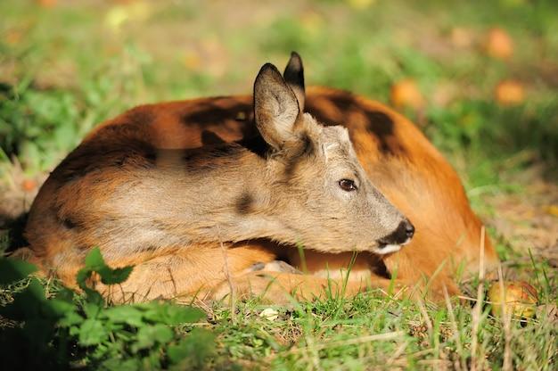 Jeune chevreuil en forêt