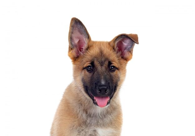 Jeune chien de berger allemand