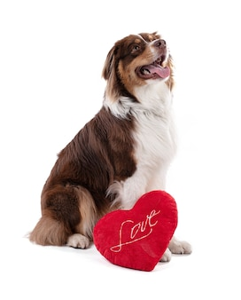 Jeune chien de berger australien avec un coeur rouge sur mur blanc