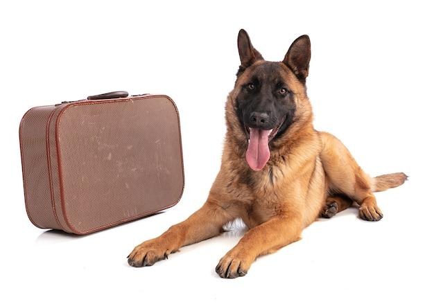 Jeune chien de berger belge malinois avec valise isolé