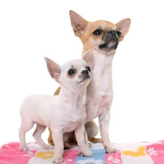 Jeune chien chihuahuas
