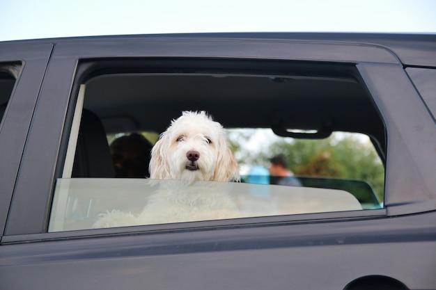 Jeune chien dans la fenêtre de la voiture