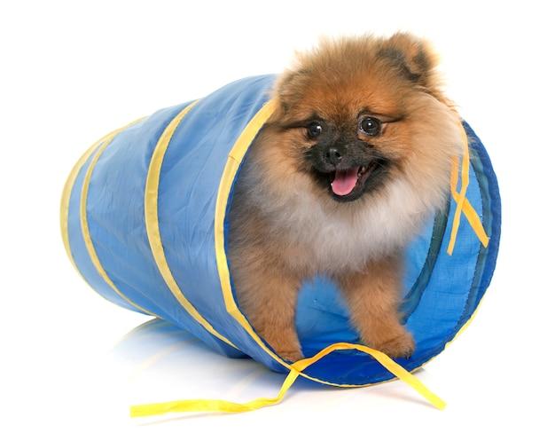 Jeune chien de poméranie en tunnel