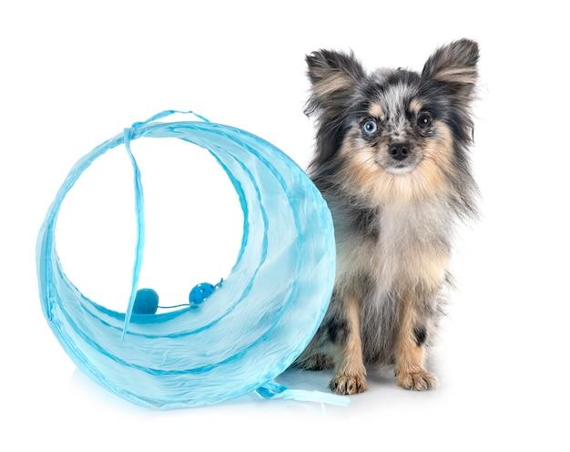 Jeune chien de poméranie