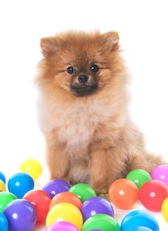 Jeune chien poméranien