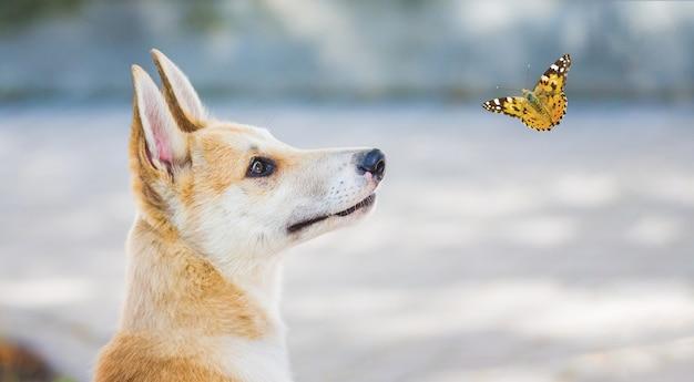 Jeune chien de race un husky laika regardant le papillon voler autour d'elle