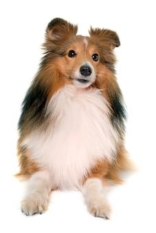 Jeune chien shetland