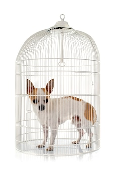 Jeune chihuahua en cage