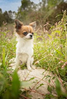 Jeune chihuahua les herbes dans la nature