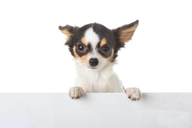 Jeune chihuahua posant des pattes sur un signe
