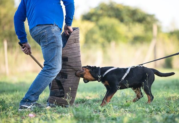 Jeune chiot rottweiler s'entraînant dans la nature