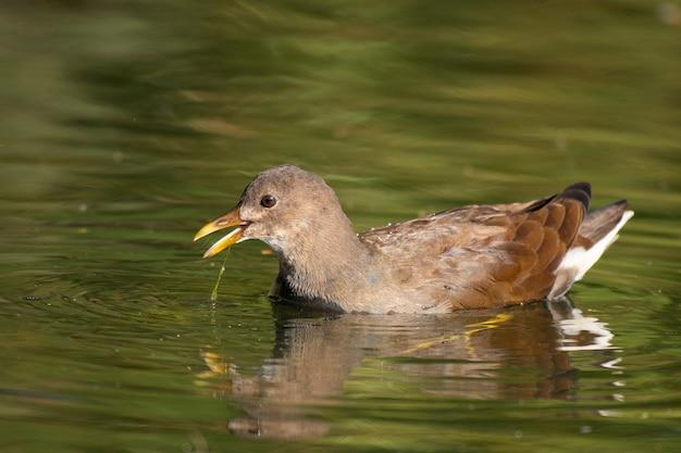 Le jeune common moorhen se nourrit du lac, gallinula chloropus.