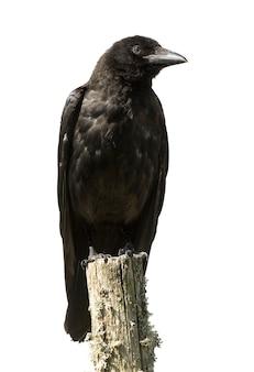 Jeune corneille noire - corvus corone (4 mois) sur un blanc isolé