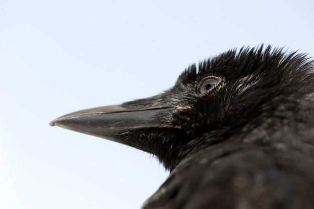 Jeune corneille noire - corvus corone (4 mois) devant un mur bleu isolé