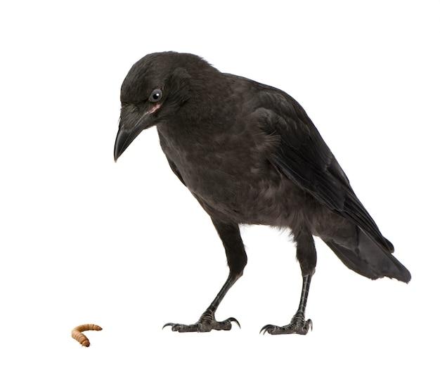 Jeune corneille noire, corvus corone sur un blanc isolé